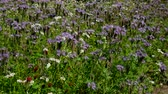 plant fertilizer : Phacelia