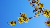 witch hazel : Hamamelis Stock Footage