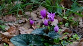 macro : cyclamen in forest Stock Footage