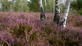 funda : Heath landscape with flowering Heather, Calluna vulgaris Stok Video