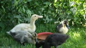 yem : Cute ducklings surround water pot drinking and tasting the fresh grass Stok Video