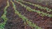 агрономия : Peas growing in the garden soil - spring time sunrise timelapse, closeup