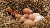 széna : Two chicken hatching from the eggs in a hay nest - with their fluff still wet