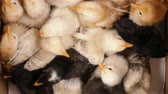 pintinho : Few days old chicken in a crowded box, animal farming - top view, closeup Vídeos