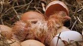 egg shell : Two chicken resting after hatching from the eggs in a hay nest - with their fluff still wet, extreme closeup