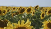 girasoli : Sunflowers in a field on a hot summer day with light breeze - camera reveal field from behind one flower