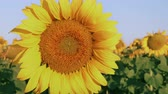 One sunflower in bright summer sunlight in the sunflowers field swinging in light breeze - closeup, static camera 무비클립