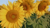 Close up of three sunflower in bright summer sunlight in the sunflowers field swinging in light breeze - closeup, static camera