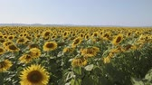 Sunflowers in a field on a hot summer day - camera rise to reveal agricultural countryside scenery