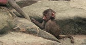 famílias : Incredible footage of a newborn baby monkey grooming its mothers tail. 4K UHD. Stock Footage