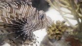 tropikal : Incredible closeup shot of a lionfish. 4K UHD footage. Stok Video
