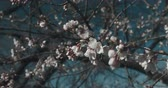 április : New cherry blossoms arrive in full bloom. 4K UHD footage with copy space.