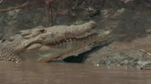 snout : Crocodile filmed on a boat touring a river.  4K footage.