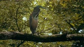 garza : Tiger Heron en una selva tropical de Costa Rica Archivo de Video