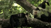 honduras : Wild Costa Rica White Faced Monkeys Relaxing in the Rainforest. 4K footage. Stock Footage