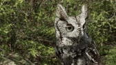 alerta : Portrait of a Screech Owl. 4K broadcast quality file.