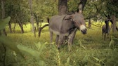 horse face : Miniature donkey looks into camera then walks away. 4K footage.