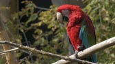 ара : Well exposed shot of a red tailed macaw. 4K footage.