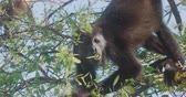 macaco : 4K Wild Howler Monkeys Foraging Leaves in a Costa Rica Rainforest. Cinematic footage.