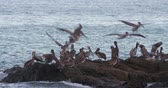 nadir : 4K Incredible wildlife footage of Pelicans feeding off a beach in Costa Rica. Cinematic look and feel. Stok Video