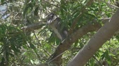 ornitoloji : Boat-Billed Heron in a Costa Rica rainforest. Slow motion footage. Stok Video
