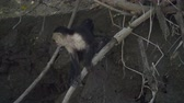 antonio : Wild White Faced Monkey in a Costa Rica rainforest. Slow motion footage.