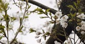 gomos : Cherry Blossoms in Full Bloom. Shot in 4K RAW on a cinema camera. Stock Footage