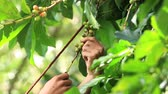 coffee tree : Ripe cherries Coffee Beans are either harvested by hand, stripped from the tree with both unripe and overripe