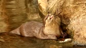 cinereus : otter in chiangmai zoo, chiangmai Thailand Stock Footage