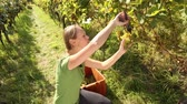 suculento : Young woman picking grapes on the vineyard during the vine harvest