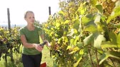 leaf : Young woman picking grapes on the vineyard Stock Footage