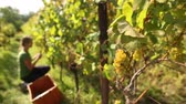 agriculture : Young woman picking grapes on the vineyard Stock Footage