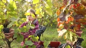 листва : Young woman picking grapes on the vineyard Стоковые видеозаписи
