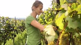 suculento : Young woman picking grapes on the vineyard Vídeos