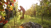 parreira : Young woman picking grapes on the vineyard Stock Footage