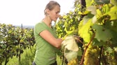 agricultura : Young woman picking grapes on the vineyard Vídeos