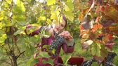 agricultura : Young woman picking grapes on the vineyard Stock Footage