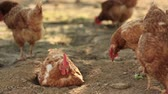 animais : Free Range Hens in a farmyard