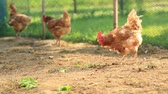 suelo : Libre gallinas en un corral  Archivo de Video
