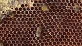 cera de abelha : Bees swarming on a honeycomb, wasps filching a honey