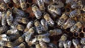 insect : Bees swarming on a honeycomb Stock Footage
