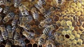 fazenda : Bees swarming on a honeycomb Stock Footage