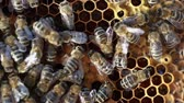 совместный : Bees swarming on a honeycomb Стоковые видеозаписи