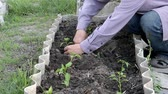 without face : mens hands planting seedlings of pepper in loose ground Stock Footage