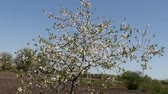 parque eólico : lonely standing young flowering apricot tree on a farm