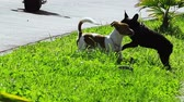 bieg : Two funny dogs playing on green grass at sunny summer day. Joyful jumping Jack Russell Terrier and French bulldog