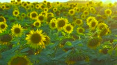 tohumlar : Field of sunflowers. Magnificent masterpiece of nature. Stok Video