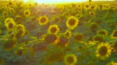 círculos : Sunset over the field of sunflowers in the countryside. Impressive view. Stock Footage