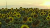 tohumlar : Enigmatic nature. Bright bloom of sunflower field.