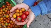 sorts : Closeup of hands of farmer holding bunch of freshly picked tomatoes
